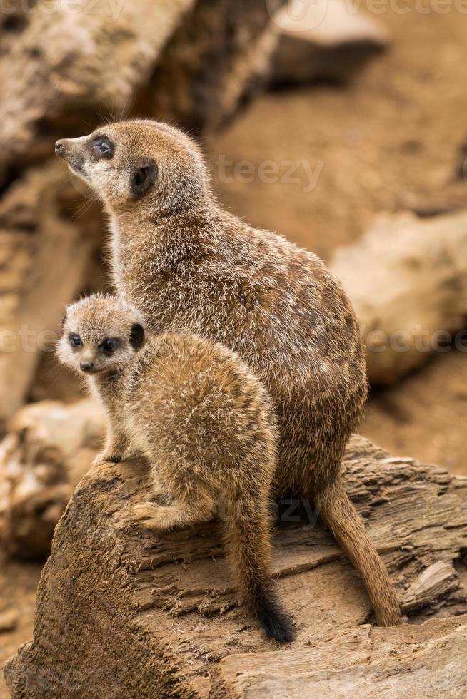 mamma och baby meerkat satt bredvid varandra. foto