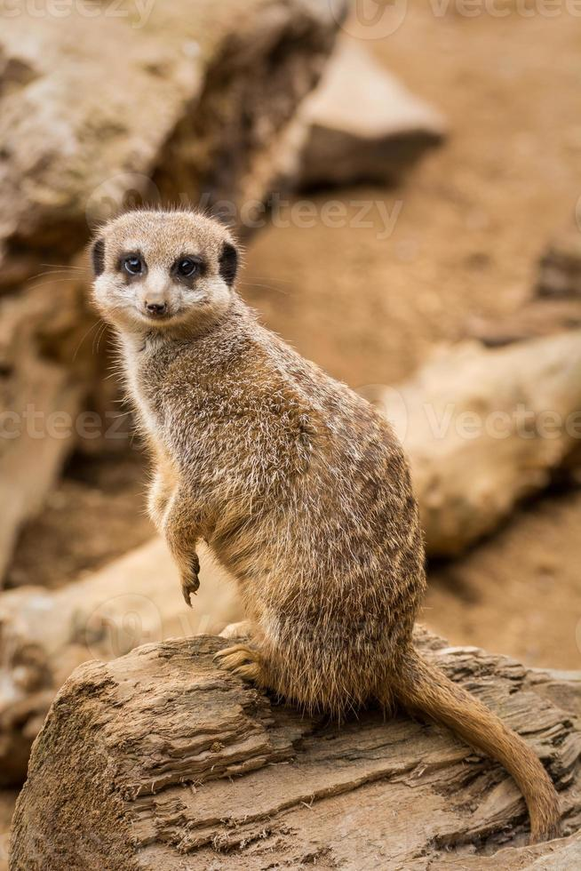 bedårande meerkat som ler mot kameran. foto