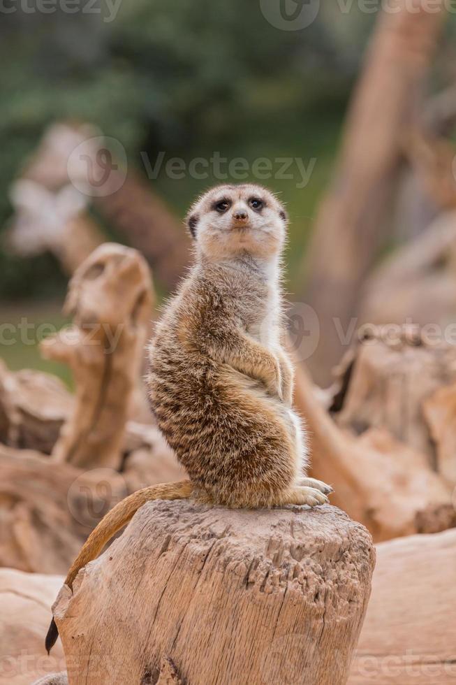 meerkat i djurparken foto