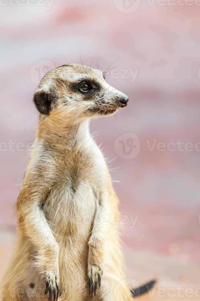 meerkat på utkik foto