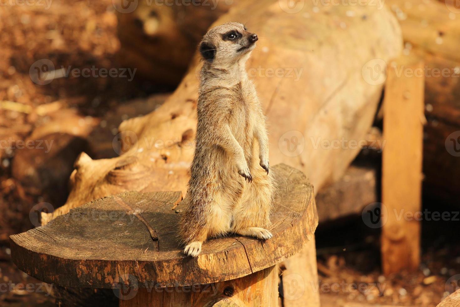 meerkat som står på stocken foto