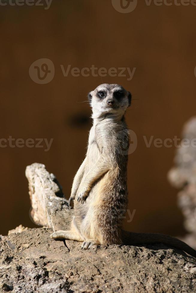 suricate eller meerkat foto