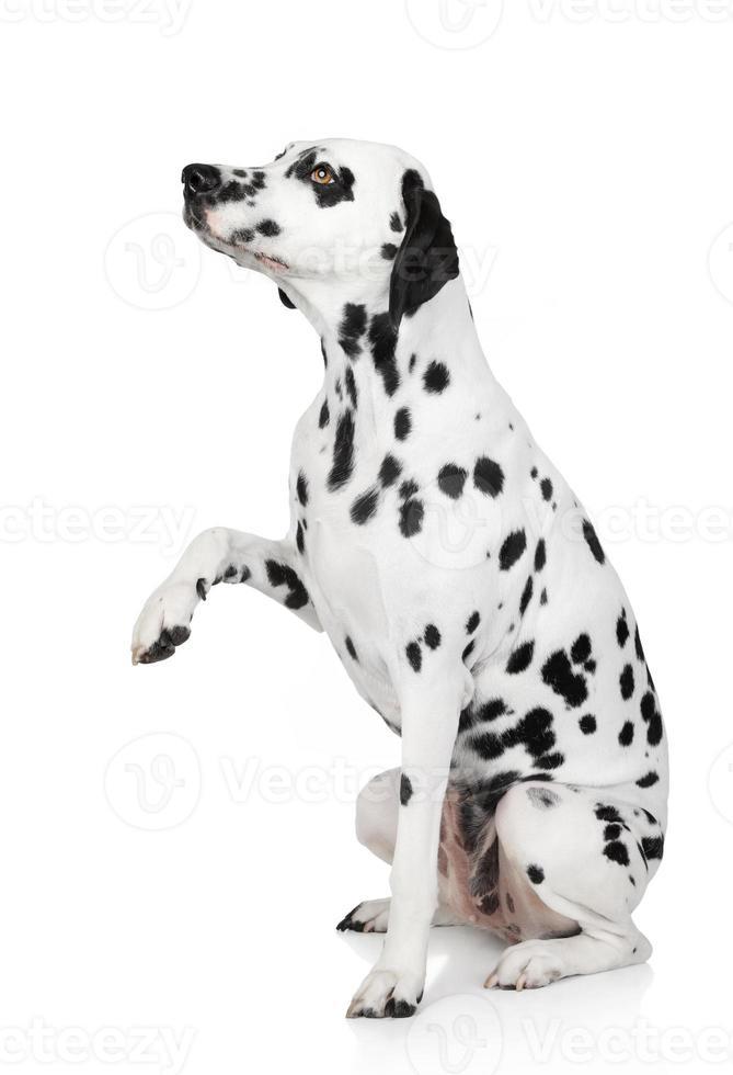 dalmatisk hund ger tass foto