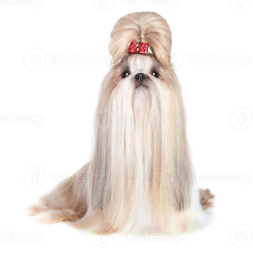 hund av rasen shih-tzu på vit bakgrund foto