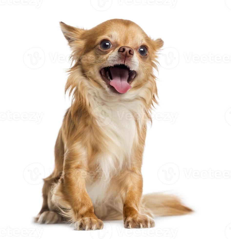 lycklig chihuahua (4 år) foto