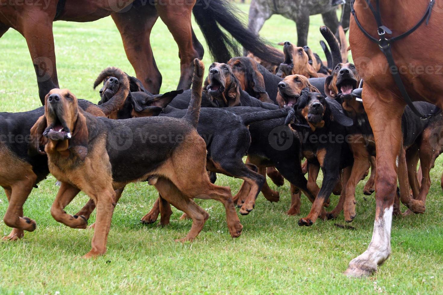 blodhundsjakt foto