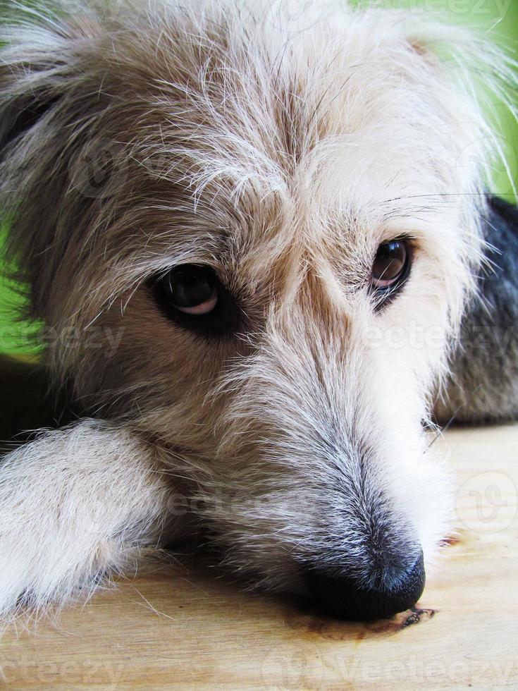 pipa mongrelhunden foto