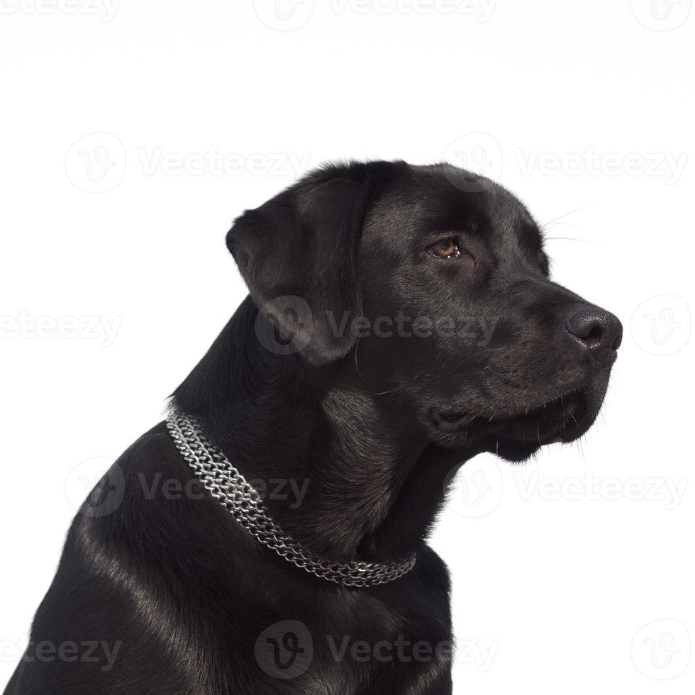 svart labrador retriever foto