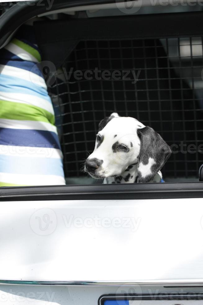 unga dalmatiner som sitter i bilens bagageutrymme foto