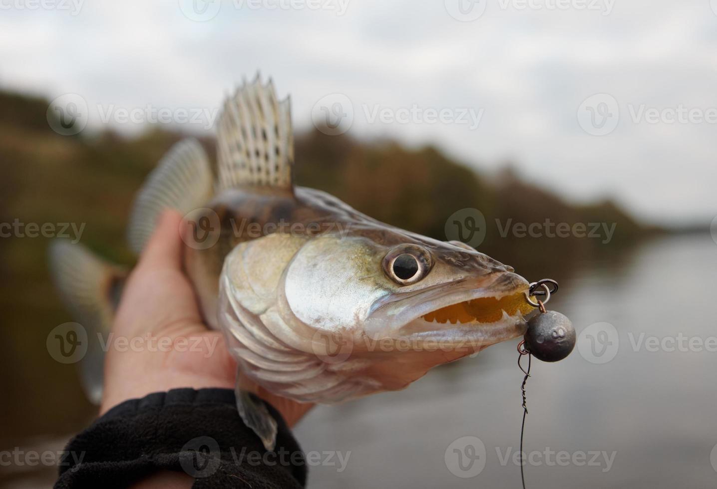 walleye fångas på handgjorda jig lock, närbild foto