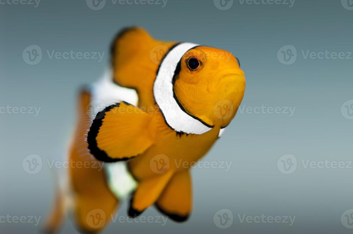 nemofisk, clownfish - närbild foto