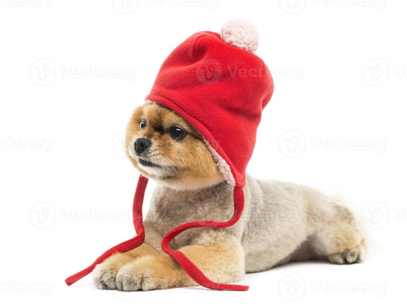 grommed pomeranian hund som ligger och bär en röd motorhuv foto