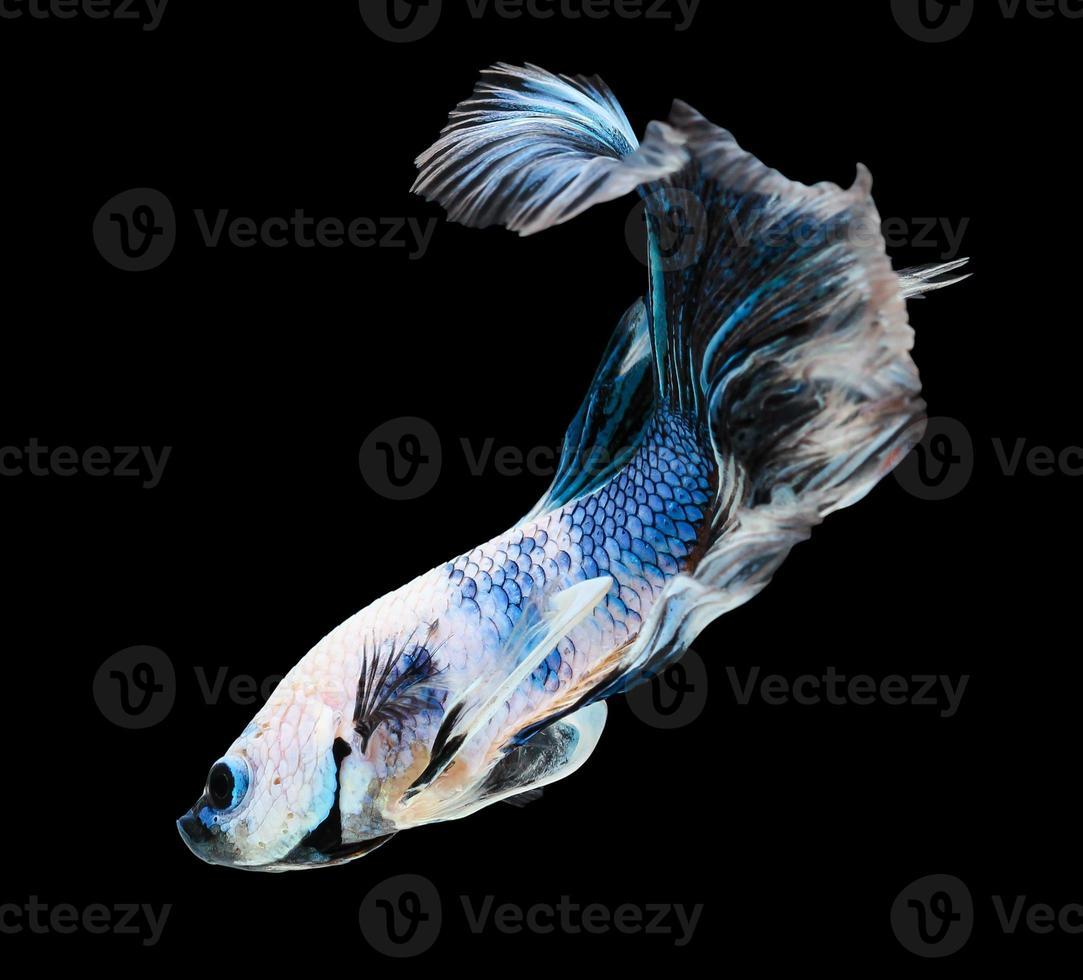 betafisk, siamesisk stridsfisk, betta splendens (halvmåns insats foto