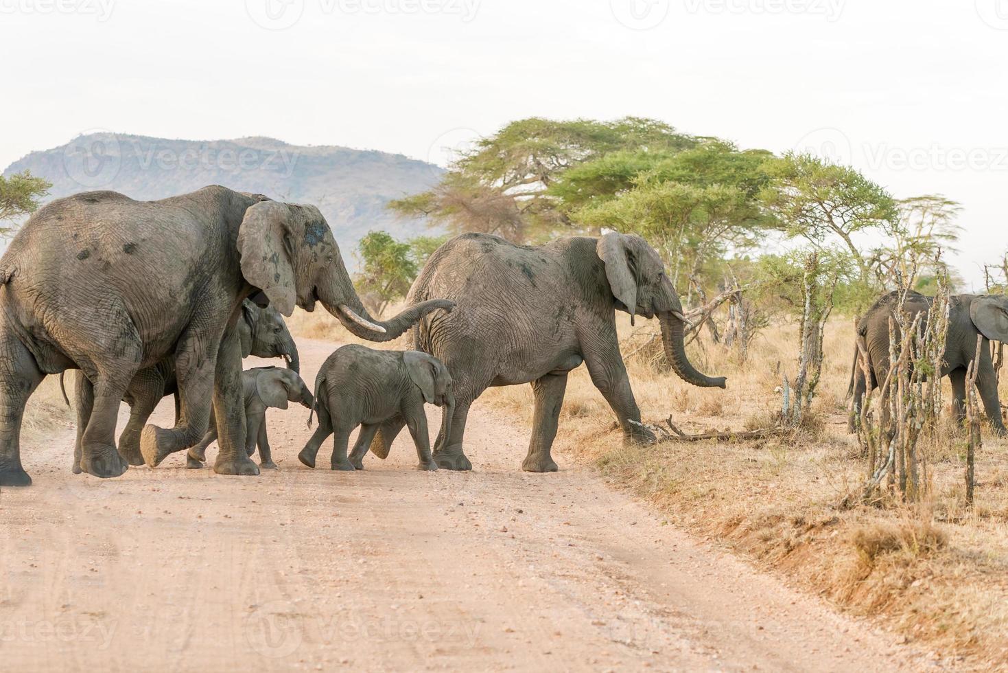 afrikansk elefant i serengeti nationalpark foto