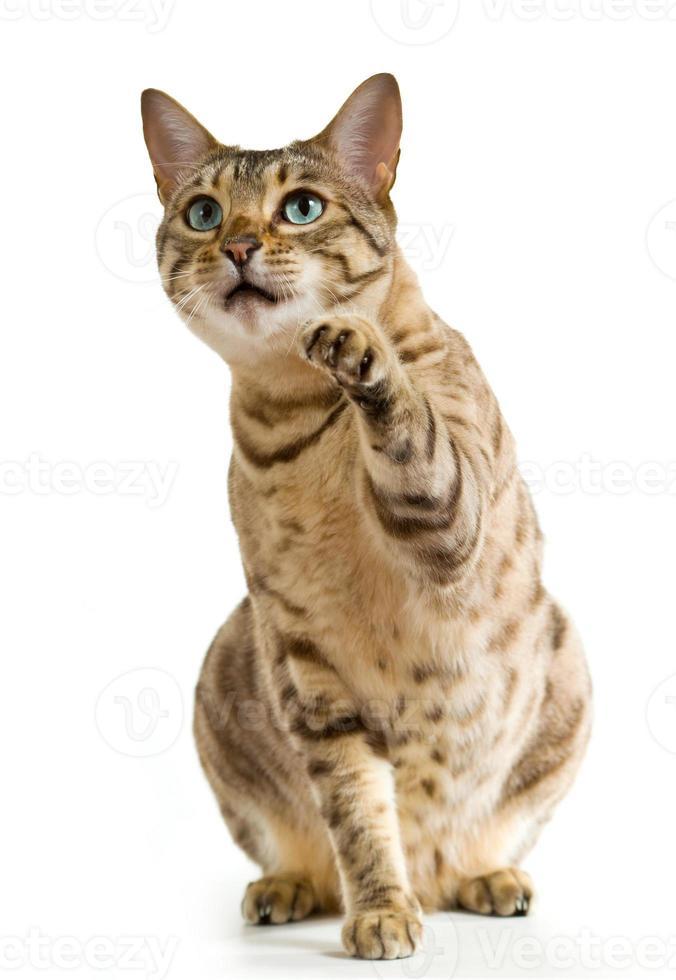Bengalkatt med blå ögon som pekar med tassen foto