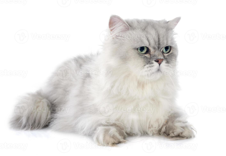 persisk katt foto