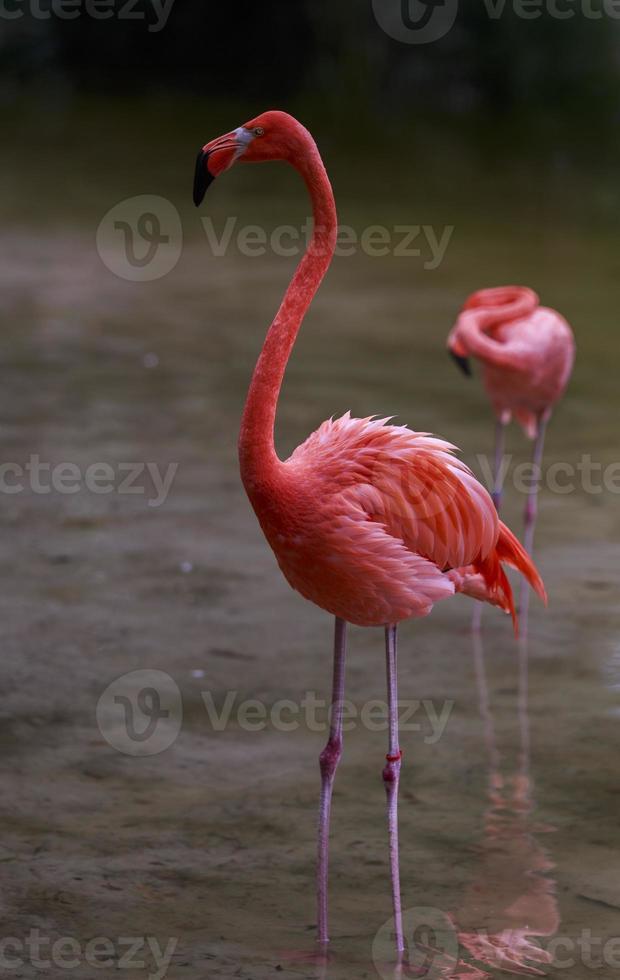 amerikansk flamingo foto
