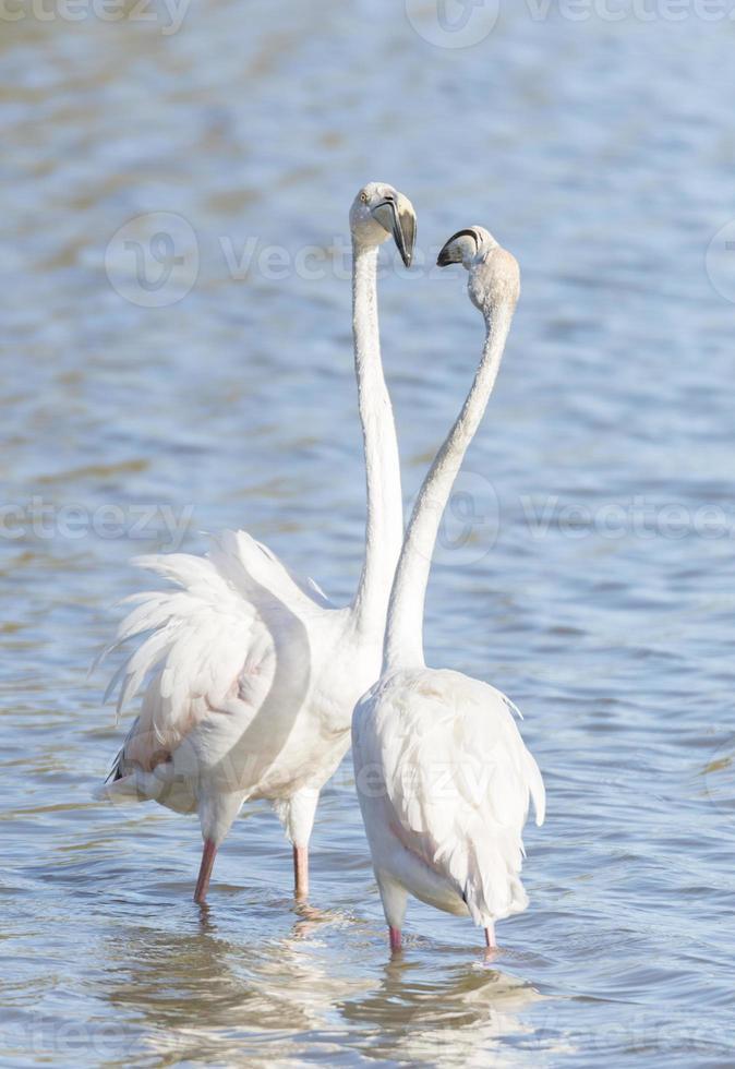 phoenicopterus ruber, större flamingo foto
