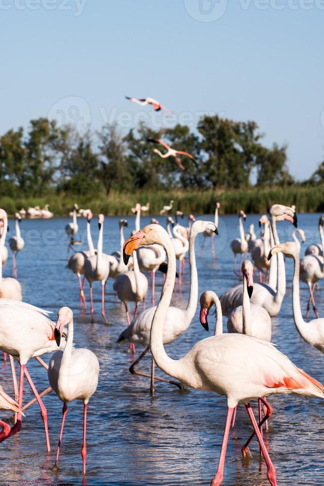 flamingos i nationalparken i Camague, Frankrike foto