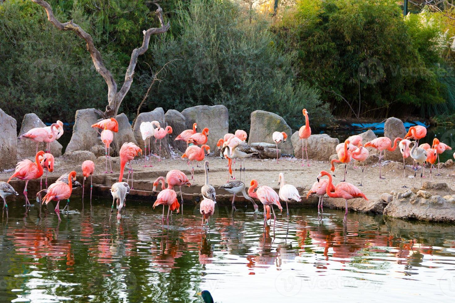 vanlig flamingo (phoenicopterus ruber) foto