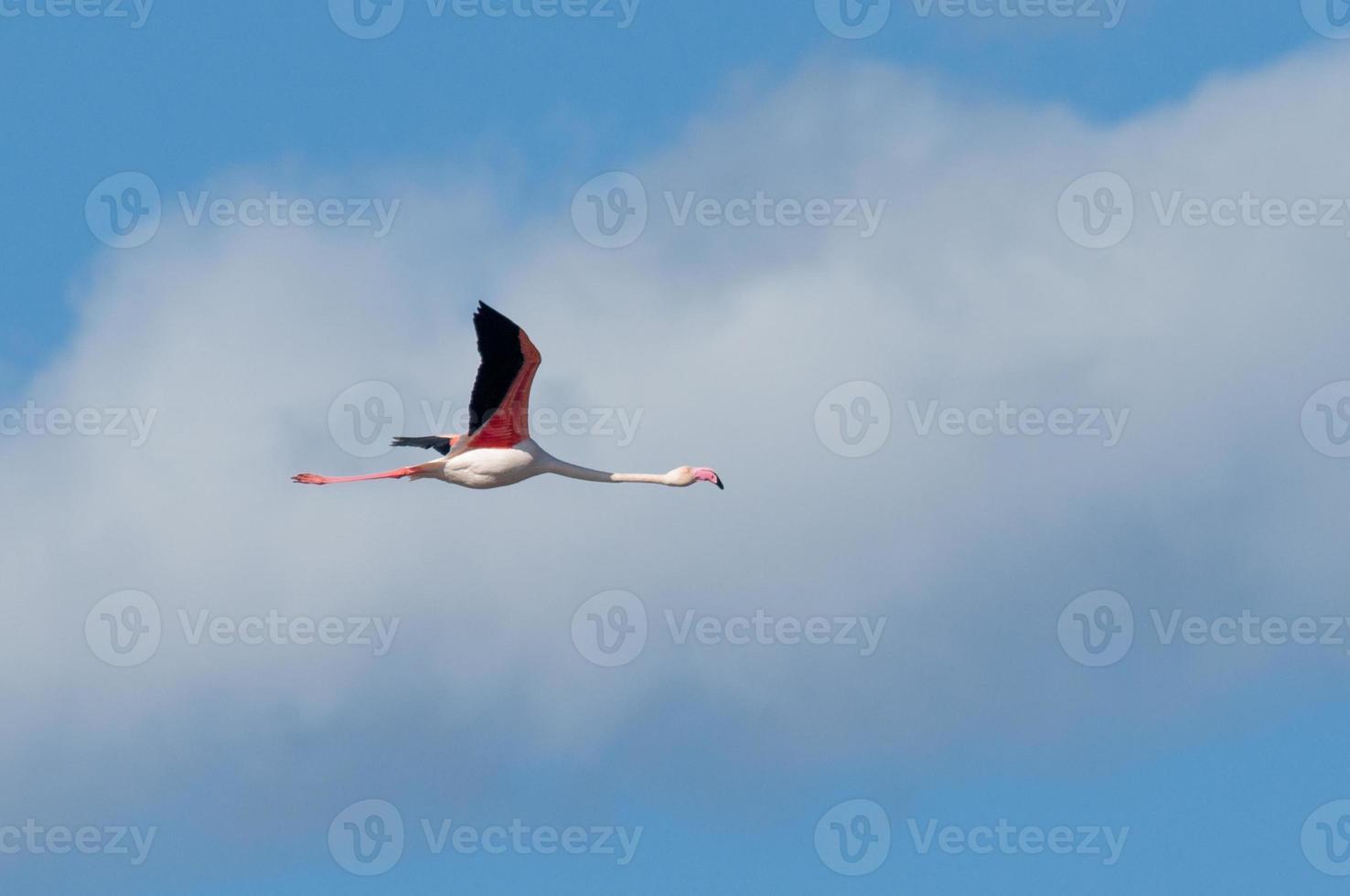 större flamingo, phoenicopterus roseus foto