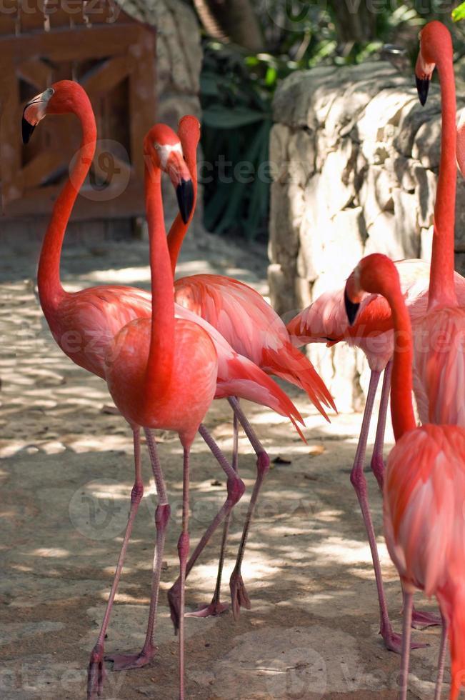rosa flamingo på den mexikanska zoo foto