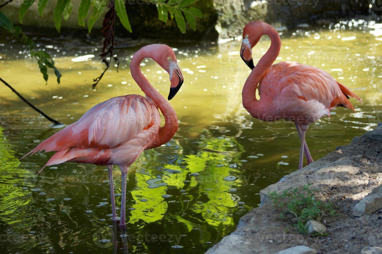 par rosa flamingo, tropisk träsk bakgrund foto