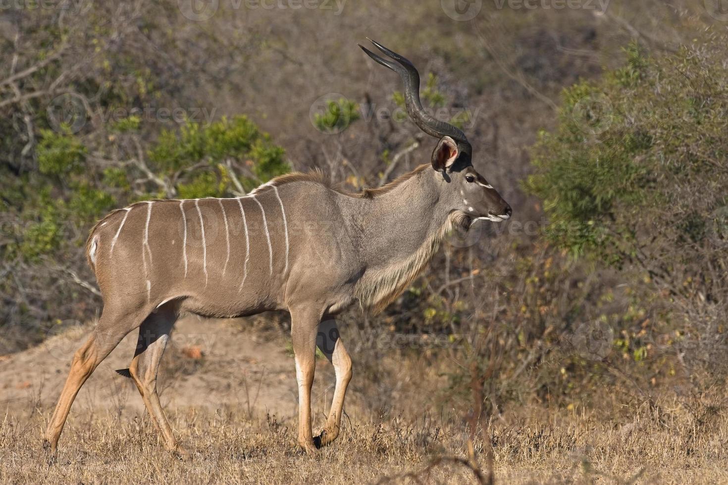 kudu tjur foto