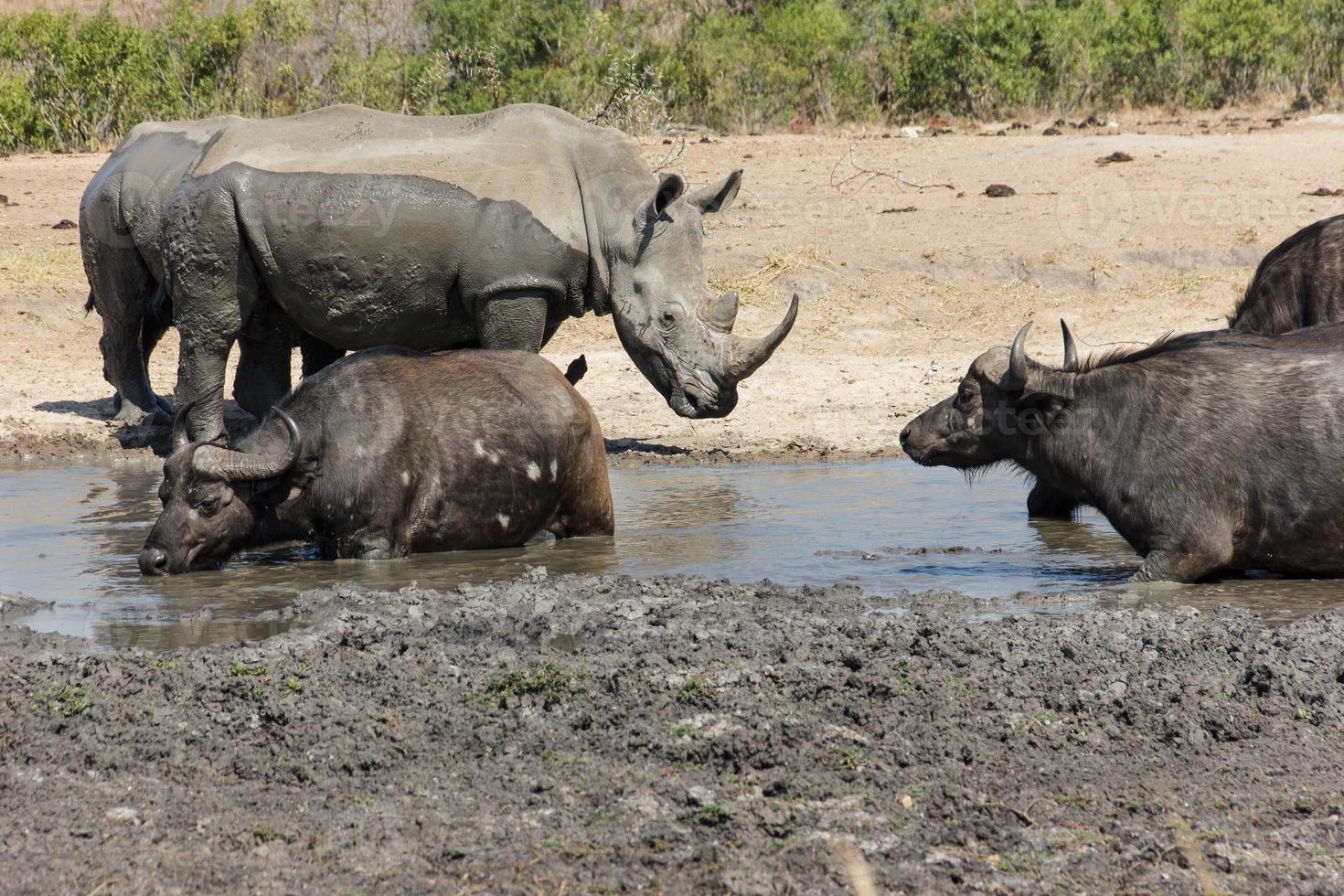 noshörning och buffel foto