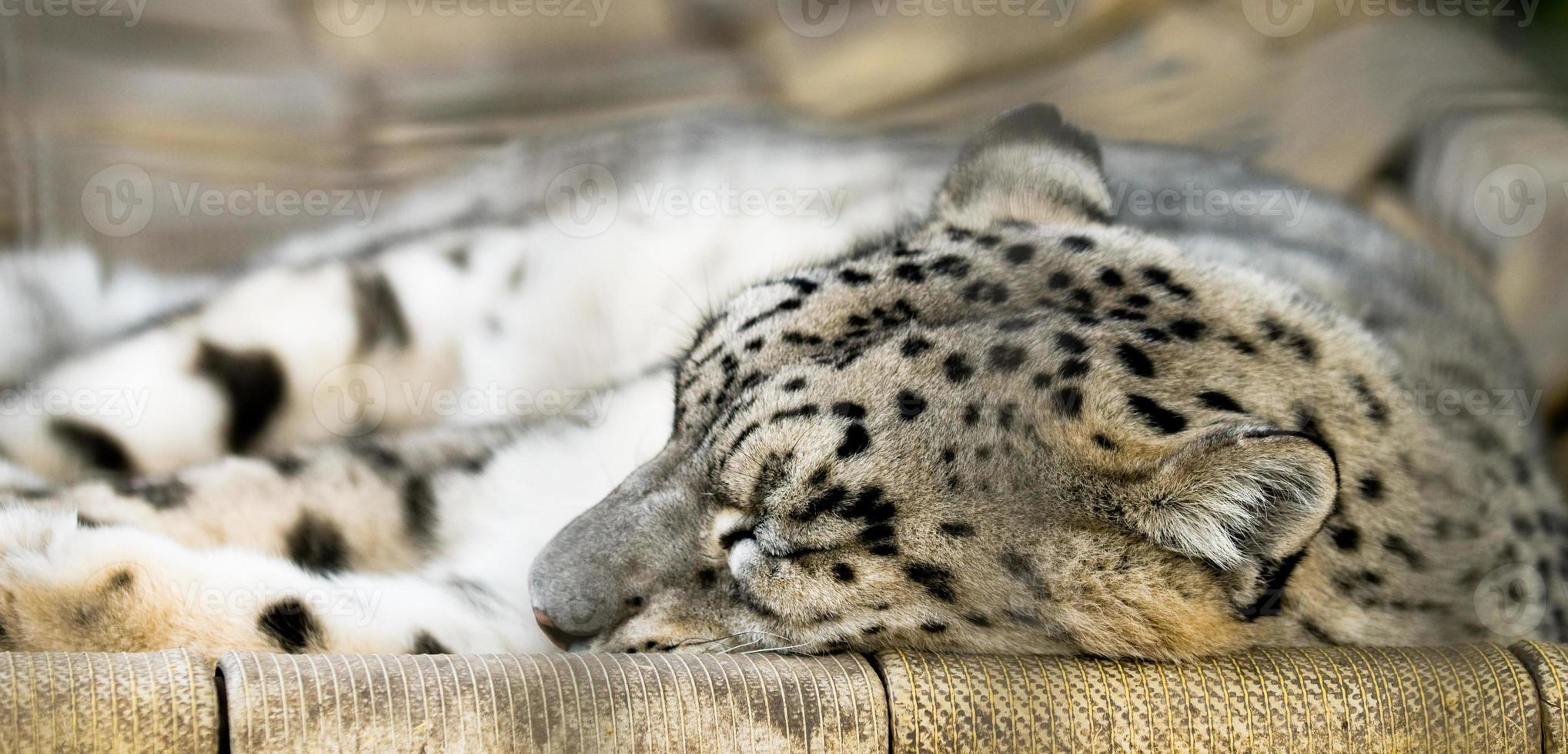 snöleopard foto