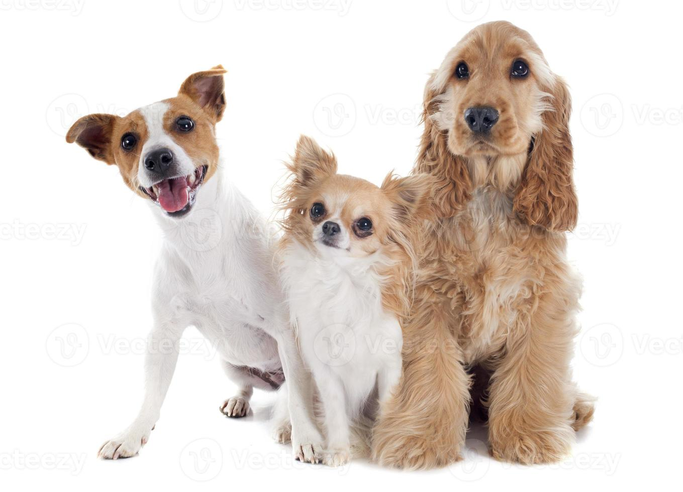 tre små hundar foto