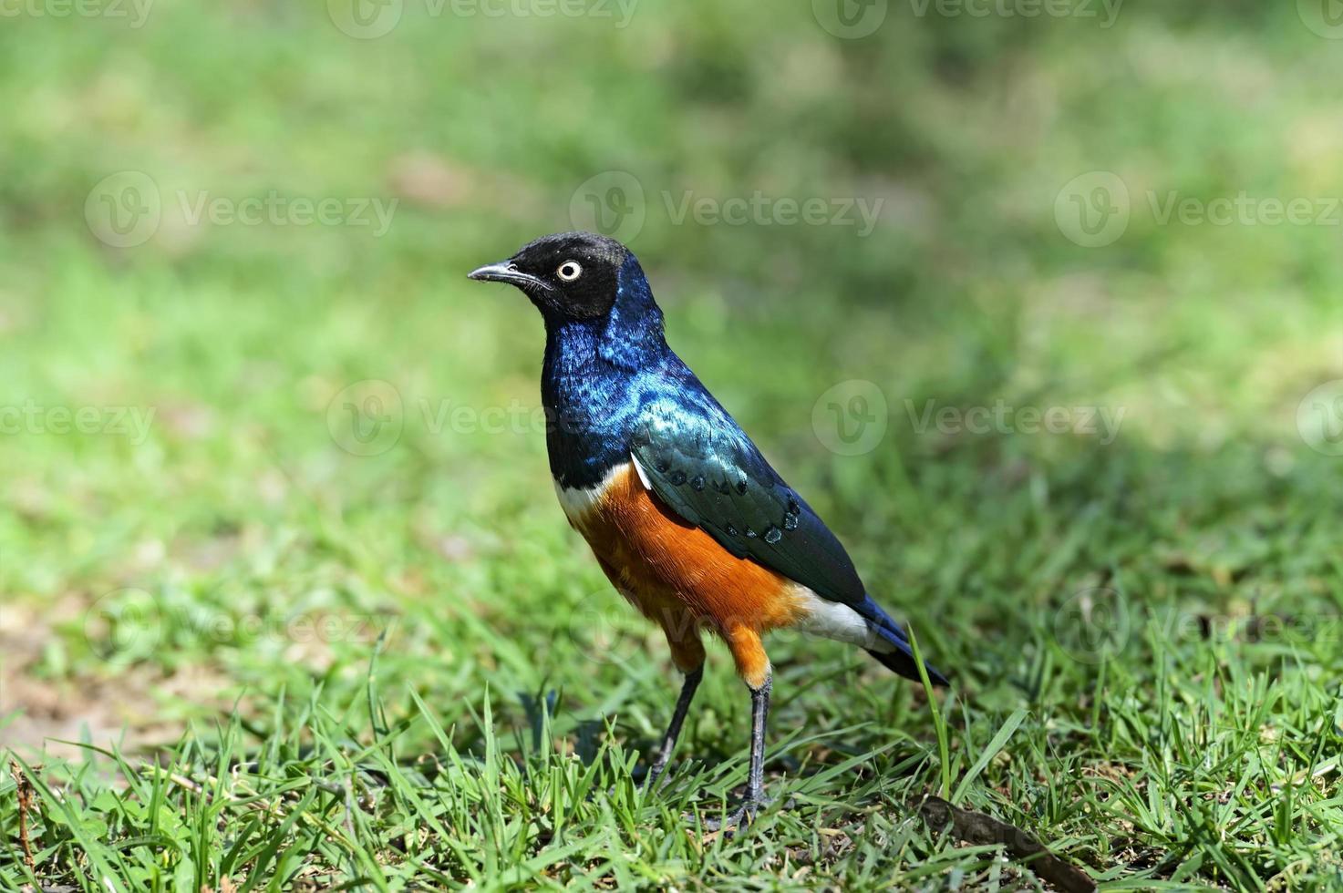 färgglada superb starling foto