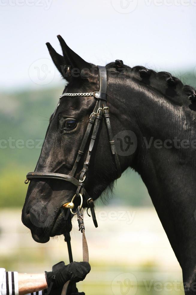 sidovy porträtt av en vacker svart färgad hingst foto