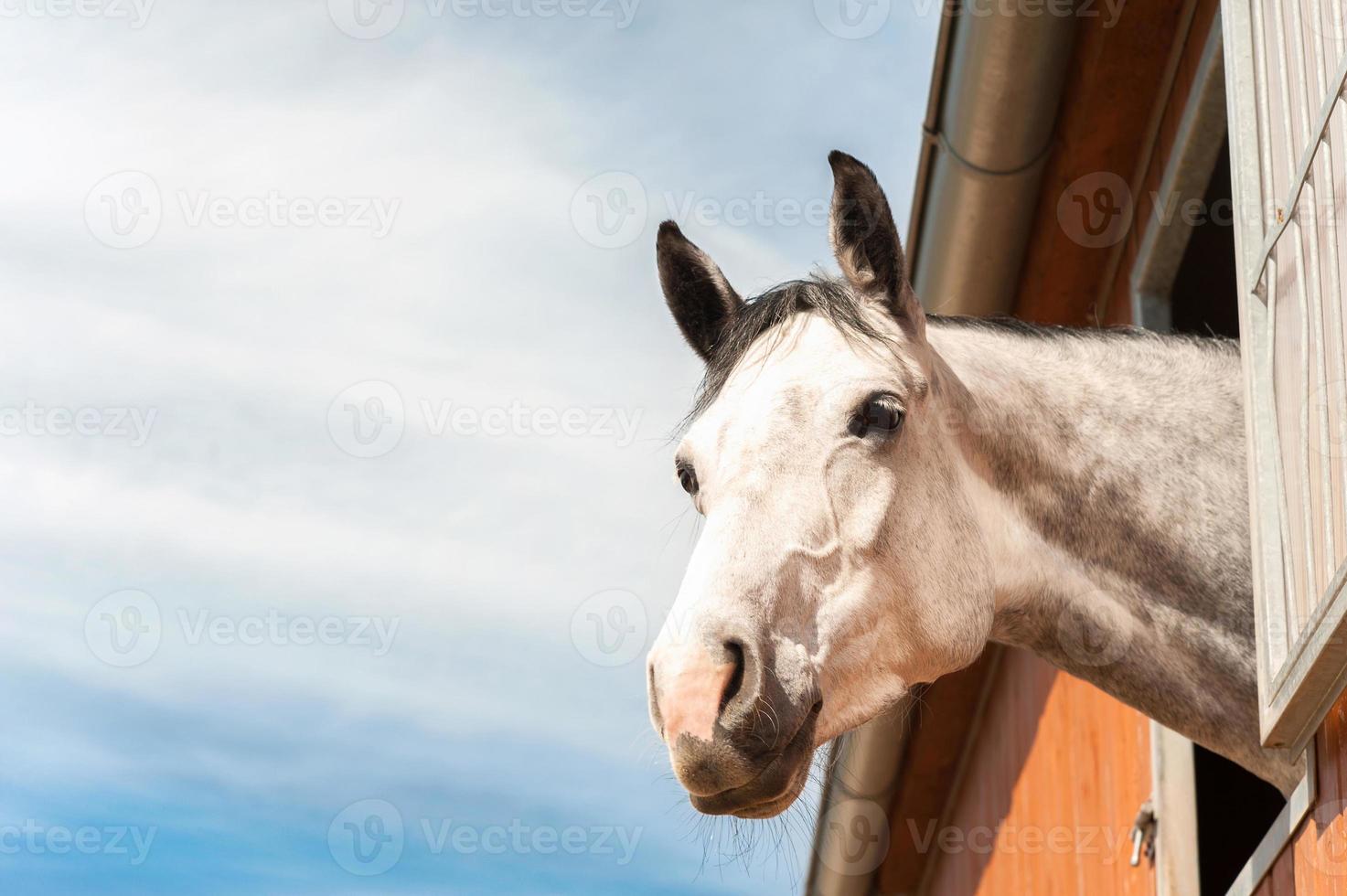 porträtt av fullblodsgrå häst i stabilt fönster. foto