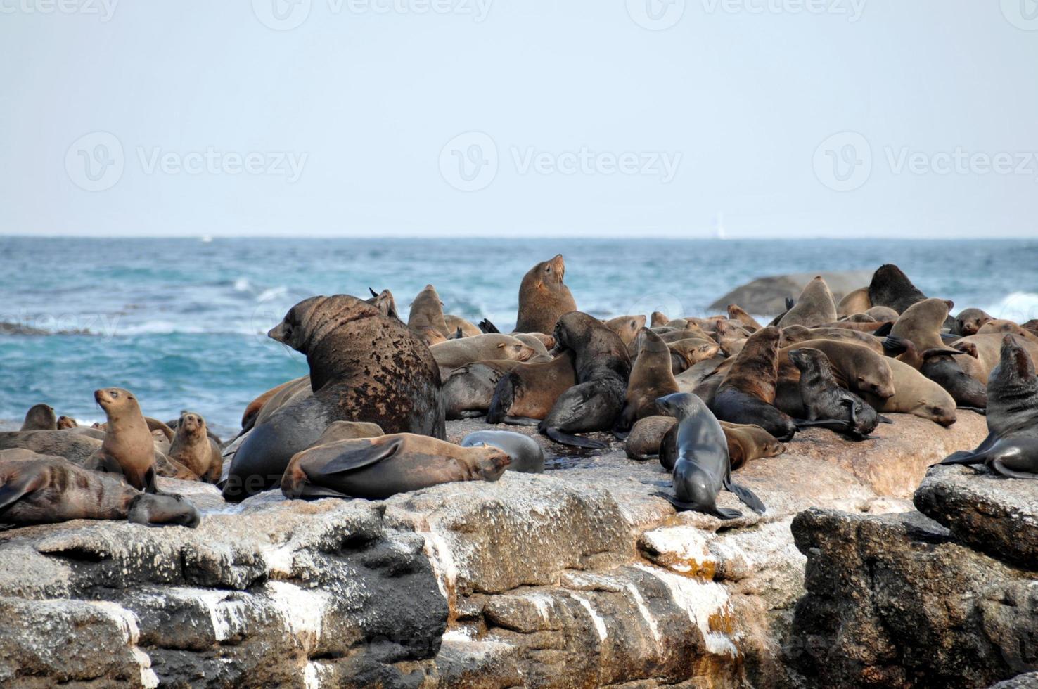 kappa pälssälar, försegla ön i falsk vik foto