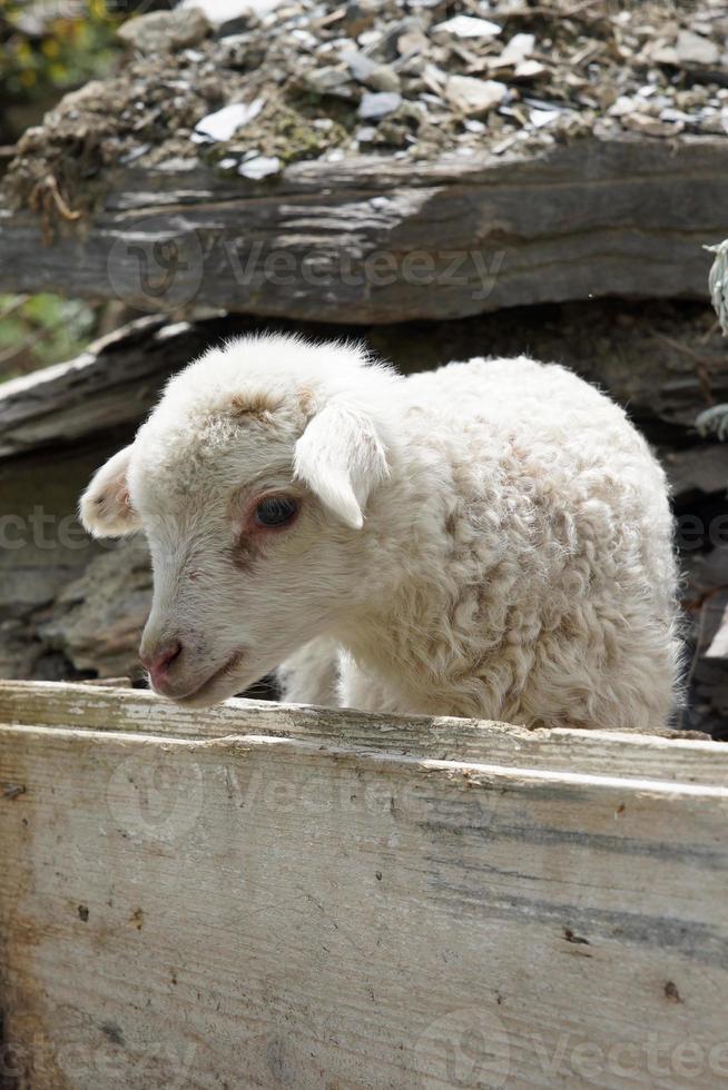 lamm på en gård i swanetia, georgia, europa foto