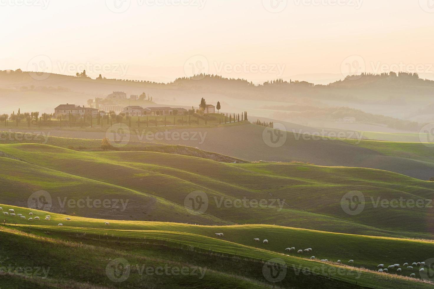 toskanska får i rullande gröna fält i gul solnedgång. foto