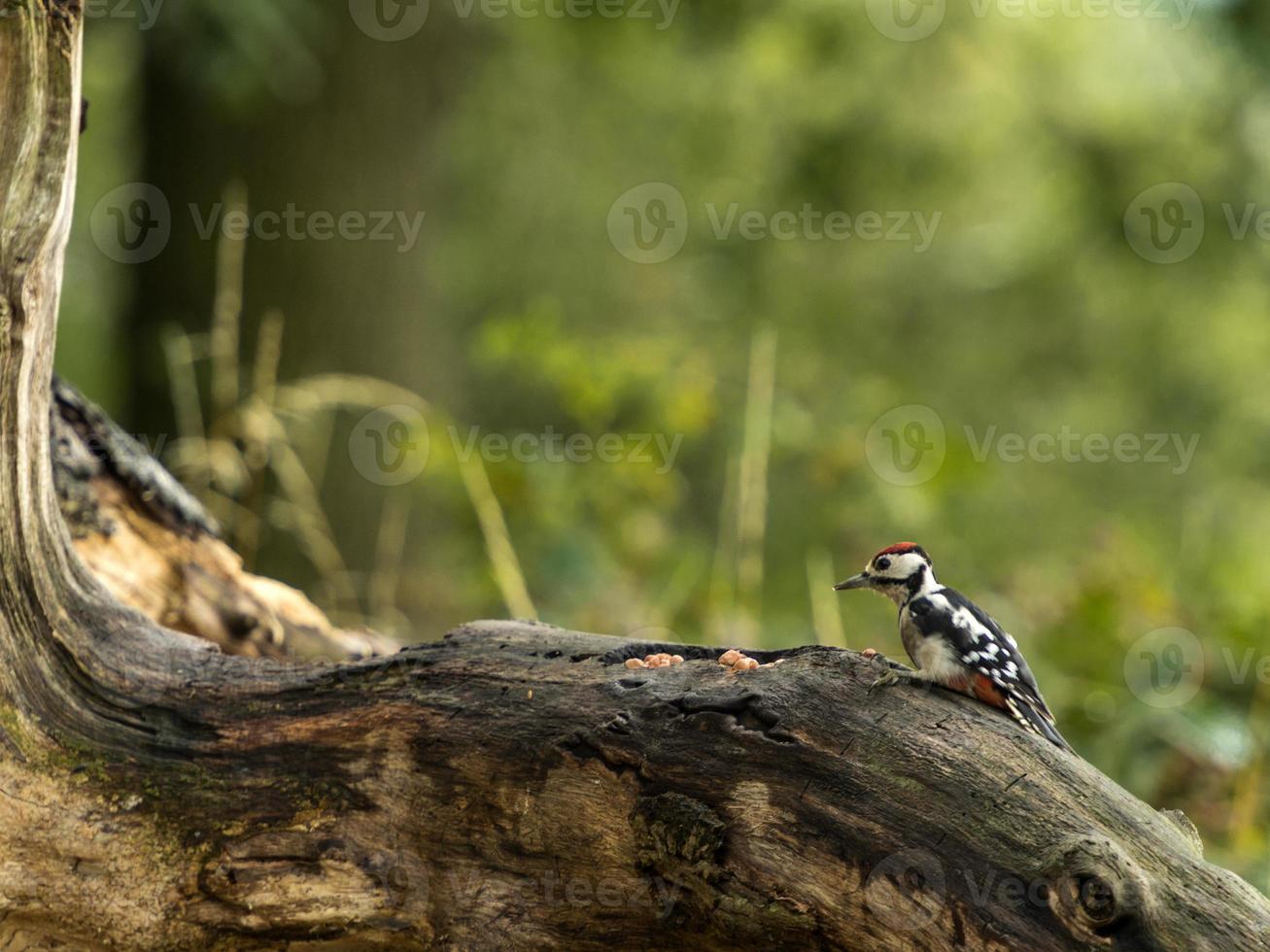 juvenil stor prickig hackspett (dendrocopos major) foto