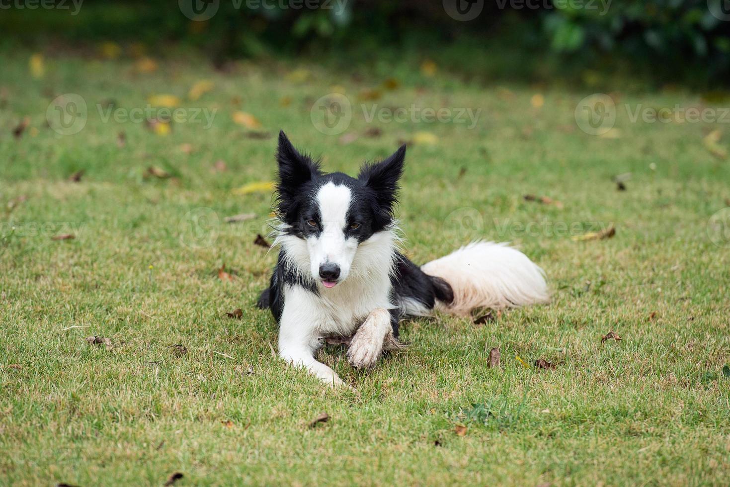border collie eller fårhund foto