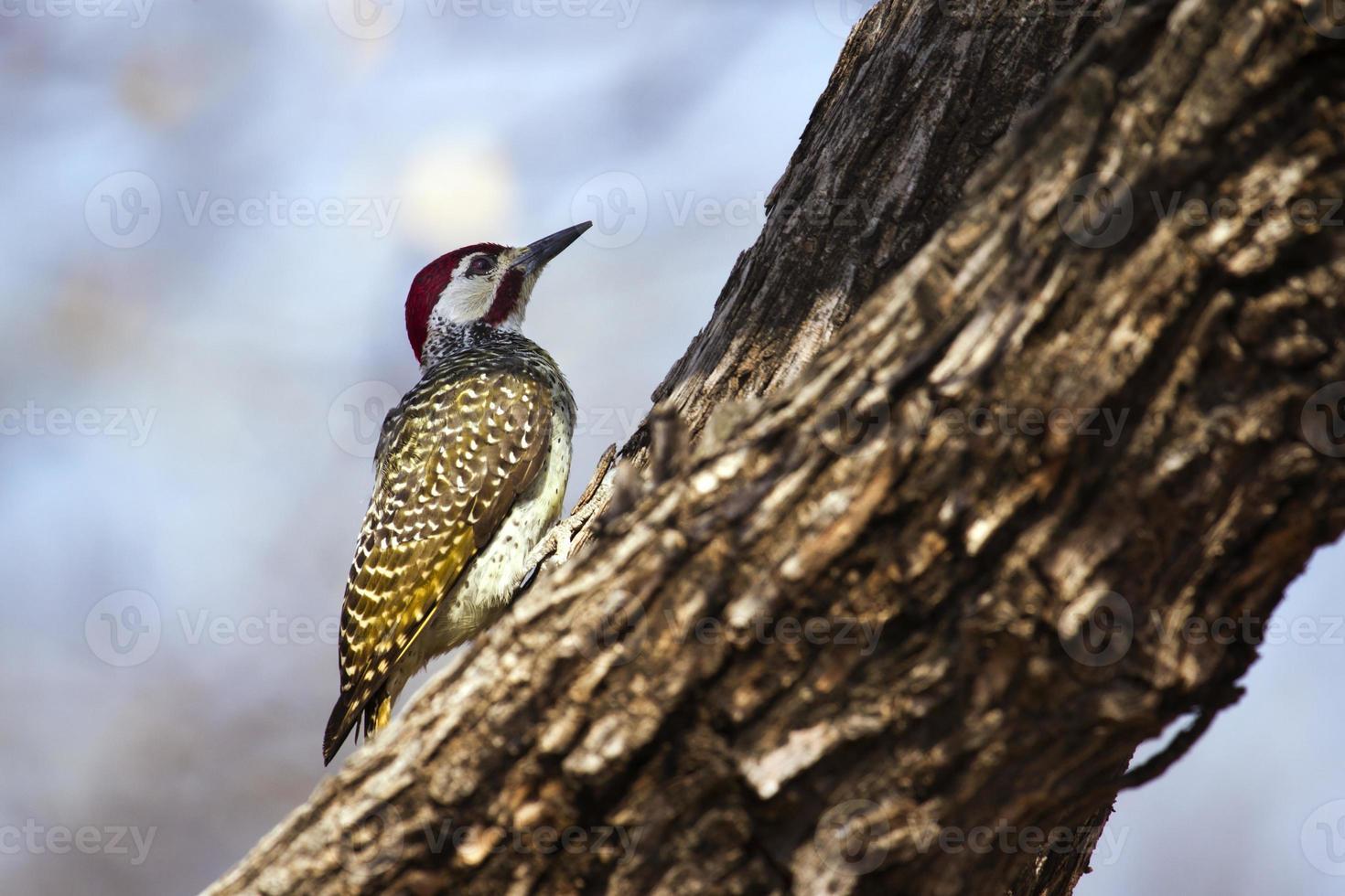 bennetts hackspett i Kruger nationalpark foto