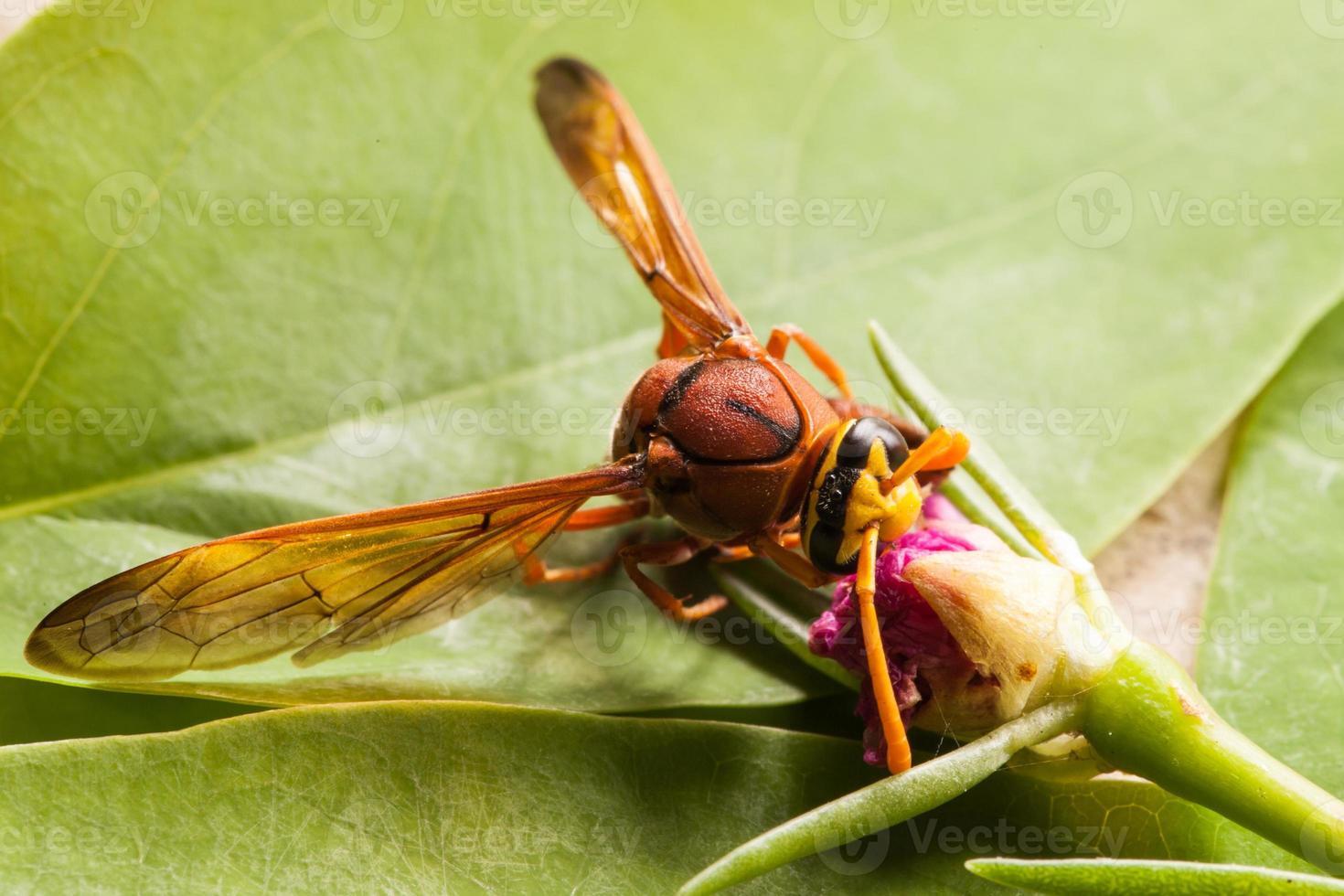 geting insekt. foto