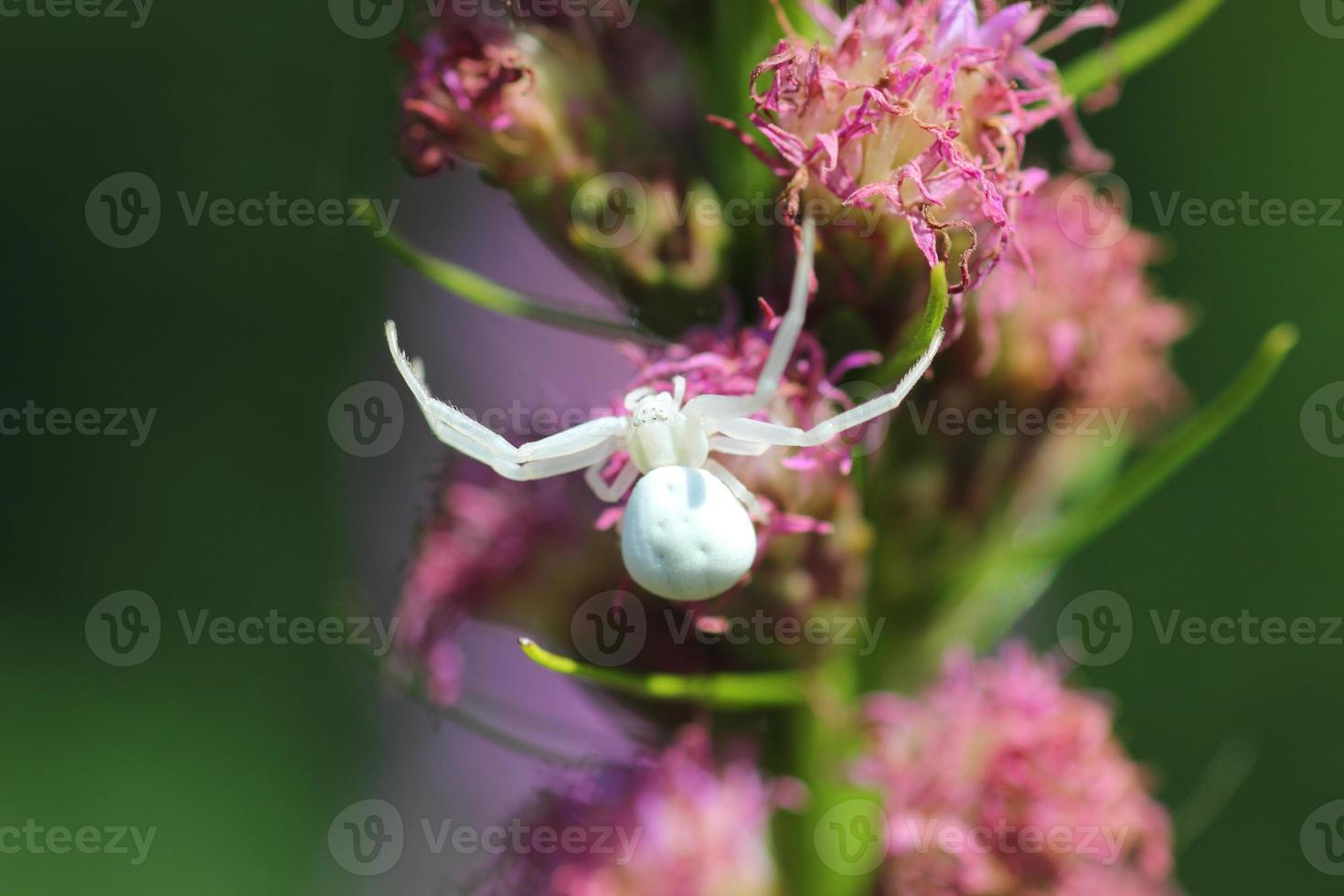 vit spindel på en blomma foto