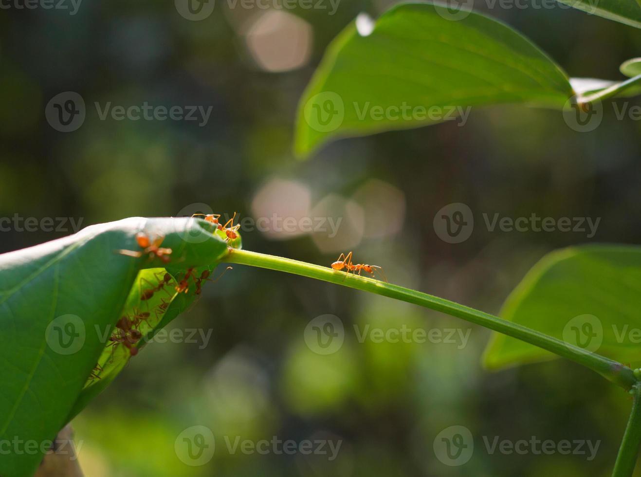 röda myror foto