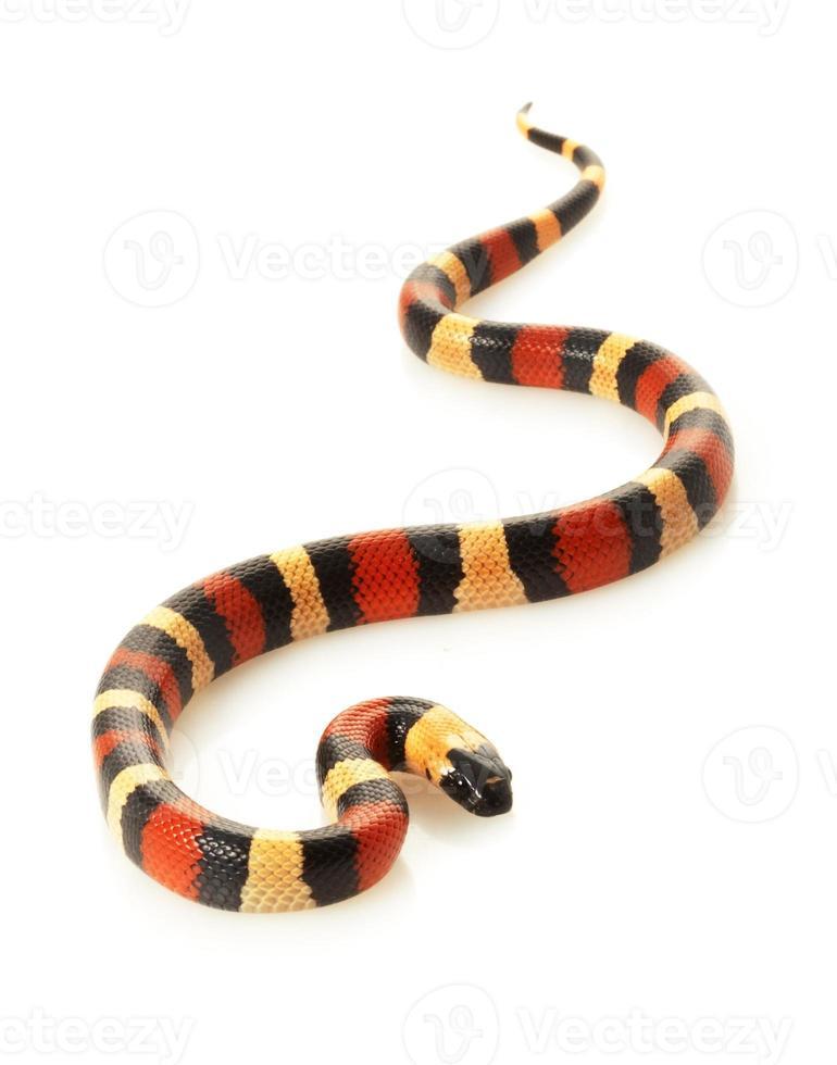 röd, svart och gul san pueblan milksnake på vitt foto