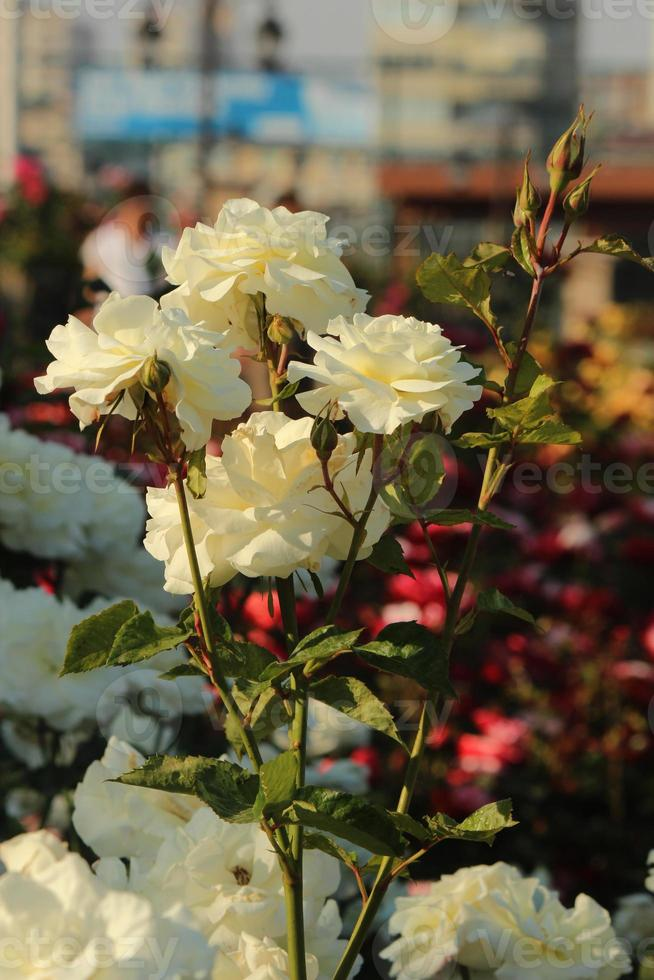 rosa swan lake - rose foto