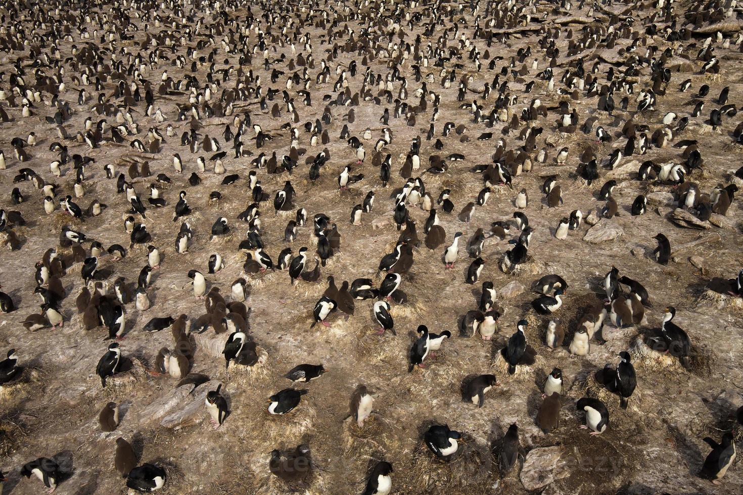 koloni av rockhopper-pingviner och kejserliga shags foto
