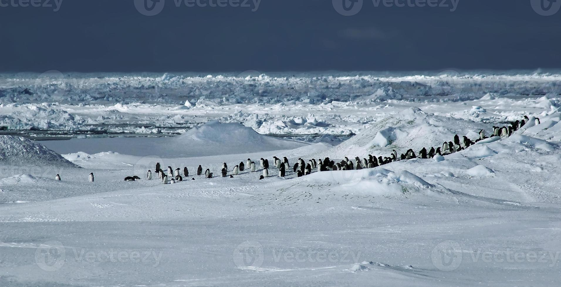 pingvin panorama foto
