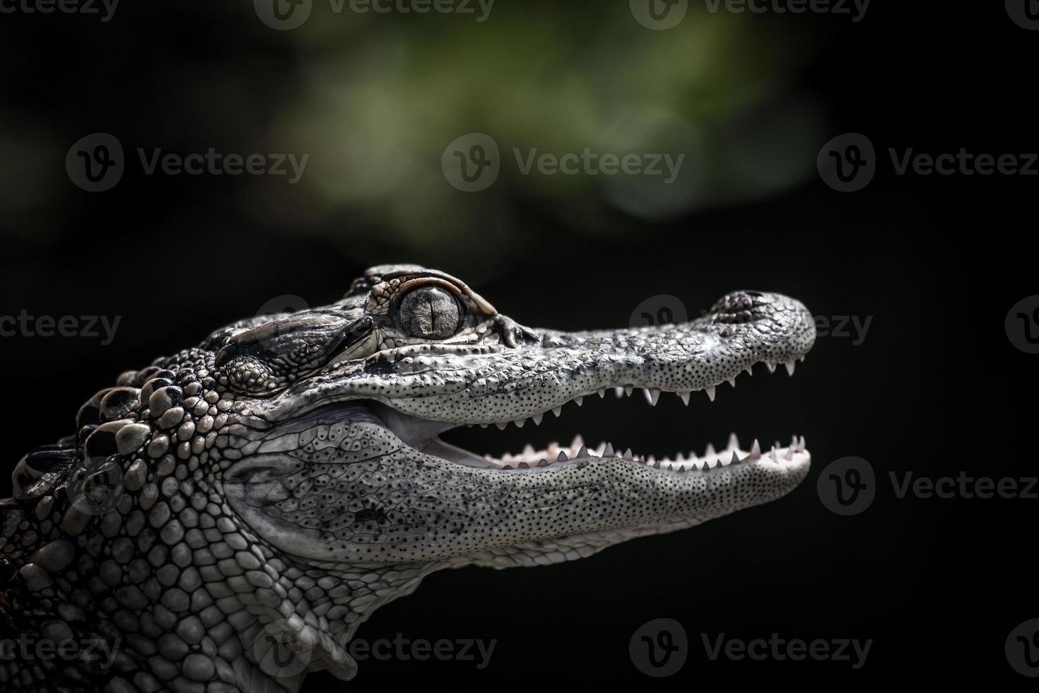 porträtt av en ung alligator foto