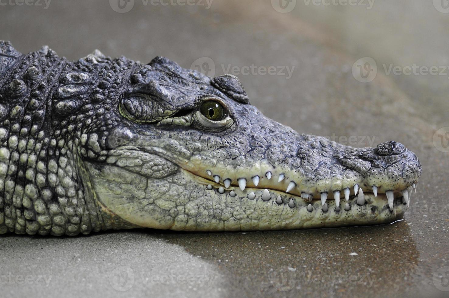 porträtt av nil krokodil foto