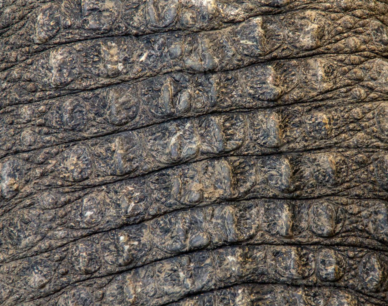krokodilen för konsistens foto